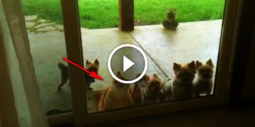 Эти песики хотят войти в дом, но дверь закрыта. Теперь все внимание на кота!