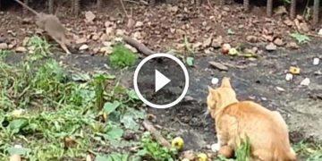 Атака кота на наглую крысу. Вот это терпенье настоящего охотника!