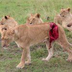 Казалось, после такого львица не жилец. Парень сделал невозможное!