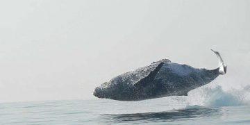 В сети набирает просмотры новый ролик, на котором 40-тонный кит полностью выпрыгивает из воды и резвится как ребёнок!