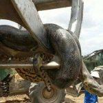 В Бразилии обнаружили гигантскую 10-метровую анаконду весом около 400 кг
