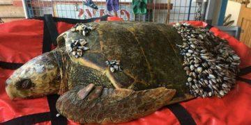 Рыбак заметил в воде странного вида черепаху. Подойдя поближе, бросился ей на помощь!