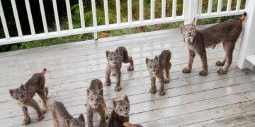 К жителю Аляски «пришел в гости» целый выводок рысей