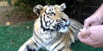Ветеринар вырвал у тигра больной зуб