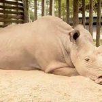 Последний самец северного белого носорога