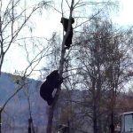 Медведь лезет за мужиком по берёзе. Ужасные кадры от которых леденеет кровь