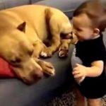 Малыш подкрался к спящему питбулю и поцеловал его. Реакция грозного пса не заставила себя ждать!
