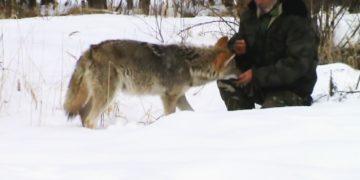 Хороший Егерь и с волками в мире.