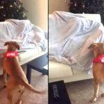 Когда пес понял, что за сюрприз ждет его на диване — чуть не сошел с ума от счастья!
