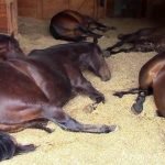 7 огромных лошадей уснули в амбаре! Хозяйка удивилась и сразу включила камеру