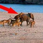 На слоненка напали сразу 14 львов. Но он не растерялся!