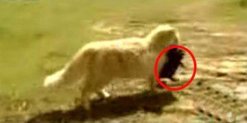 Хозяева заметили, что их кошка ворует щенков у соседей. А после к ним нагрянуло телевидение!