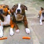Три умные и воспитанные собачки ждут команды, чтобы схватить сосиски. Но дождитесь 0:13 — обхохочешься!