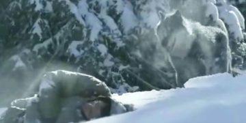 Это видео всколыхнуло весь интернет! Волки с человеческим сердцем. Так ли это?