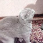 Кошка зовет хозяйку — Галя, Галя, Галя — иди сюда! (видео)