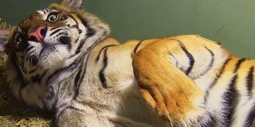 Когда камера снимала уставшую после родов тигрицу, оператор заметил кое-что интересное