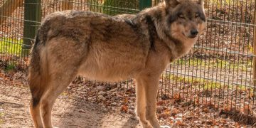 Охотник забрал из леса потерявшегося волчонка чтобы продать в цирк, но все пошло не по плану