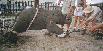 Что же происходит за кулисами цирка? Жестокая дрессировка животных