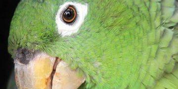 Заскучавший попугай думал, что остался дома один. Мгновением позже его хозяин не мог поверить собственным ушам! Посмотрите, что сняла скрытая камера…