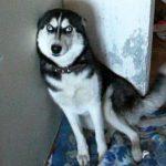 «Кто насвинячил?». Хозяин отчитывает Хаски — реакция пса бесподобна!