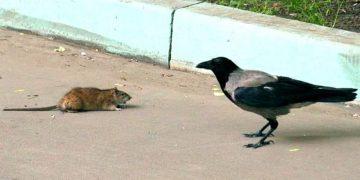 Вороне «бог послал» кусочек хлеба. Смотрите, как мудрая птица накормила голодного крысенка!