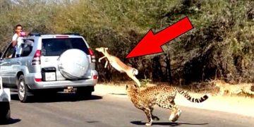 Гепарды преследовали несчастную газель. То, как она придумала спастись, еще долго будут обсуждать в интернете!