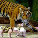 Поросят нарядили в полосатые одежки и подбросили тигрице. Итог эксперимента оказался неожиданным! (Видео)