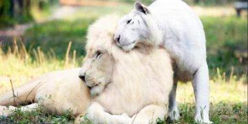 Потрясающие лигрята: удивительные детеныши белого льва и белой тигрицы