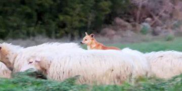 """Он снял собаку-пастуха за """"работой""""! Теперь весь Интернет хохочет над этим родео!"""