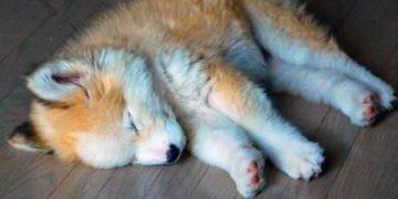 Он взял домой «беспородного» щенка, а спустя время из пушистика вырос…