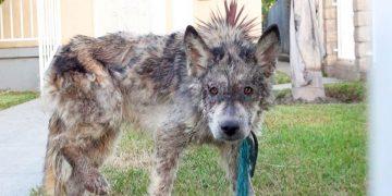 Спасая это «чудовище», они рисковали жизнью. Волк, койот или собака — кто перед ними?