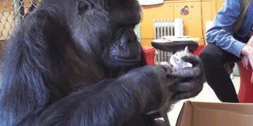 Горилле Коко к ее 44-хлетию подарили коробок с котятами. Ее реакция это нечто!