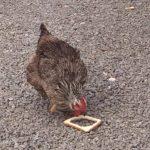 Глупая курица довела до смеха операторов. Посмотрите, что она делает с хлебом