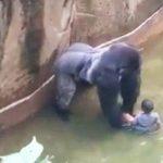3-летный малыш упал в вольер с гориллами! В то, что произошло дальше, трудно поверить