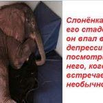 Стадо отвергло его и он впал в депрессию. А теперь посмотрите на слоненка, когда он встретил необычного друга! Фото+Видео