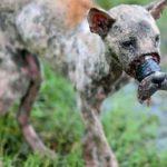 Эту собаку обнаружили с заклеенной мордой, она умирала от ран и истощения…
