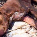 Пес был приманкой на собачьих боях, а потом его просто выбросили умирать