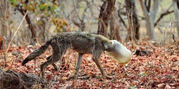 Полуживой волк с бутылкой на голове случайно попал в кадр, и это его спасло