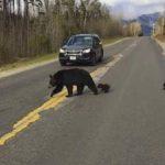 Увидев как тщетно медведица пытается перевести медвежат через дорогу — полицейский перекрыл движение. Но внезапно медведица бросилась