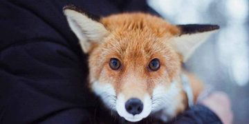 Домашняя лиса: «Бывает е я ее поругаю — она плачет, как человек, даже слезы текут»