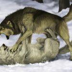 Мудрая притча про двух волков. Читается за 20 секунд, а запоминается на всю жизнь…