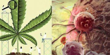 Марихуана укрепляет иммунитет и убивает раковые клетки, выяснили немецкие врачи!
