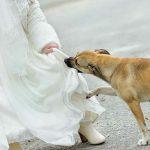 Никто на свадьбе не знал, что она скрывала под платьем, но собака вовремя поняла, что что-то не так