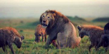 20 гиен почти одолели льва, но к нему на помощь пришел верный друг