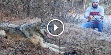 Охотник увидел, как в капкан попал волк. Дальше мужик сделал то, что не рискнул бы никто!