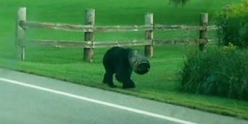 Медведь месяц ходил с банкой на голове