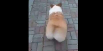 У собаки забавная походка