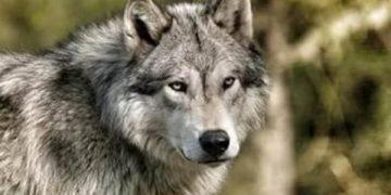 Волчья месть