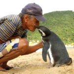 Каждый год этот пингвин проплывает более 8000 км. Он спешит проведать того, кто спас его 5 лет назад