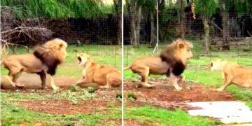 Львица устроила льву сцену ревности. И за дело.